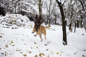 Belgian Malinois Dog running through the trees with snow on the ground